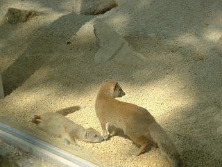 Toujours les même mangoustes