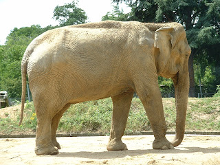 Eléphant marchant