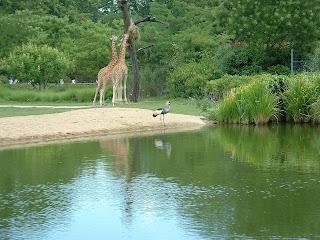 Un grue couronnée accompagnée de girafes