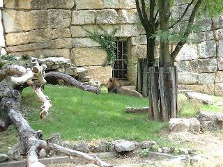 Le lion et son nouvel enclos