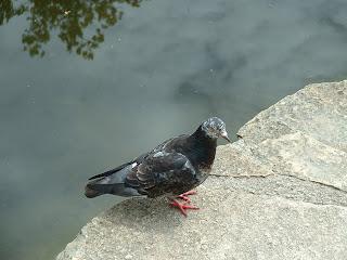 Pigeon sur un dalle au bord de l'eau