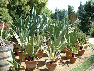 Promenades et divagations au parc de la t te d 39 or lyon agave - Agave du mexique ...