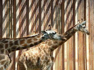 Zoom sur deux girafes
