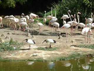 Groupe d'ibis mélés à des flamands roses
