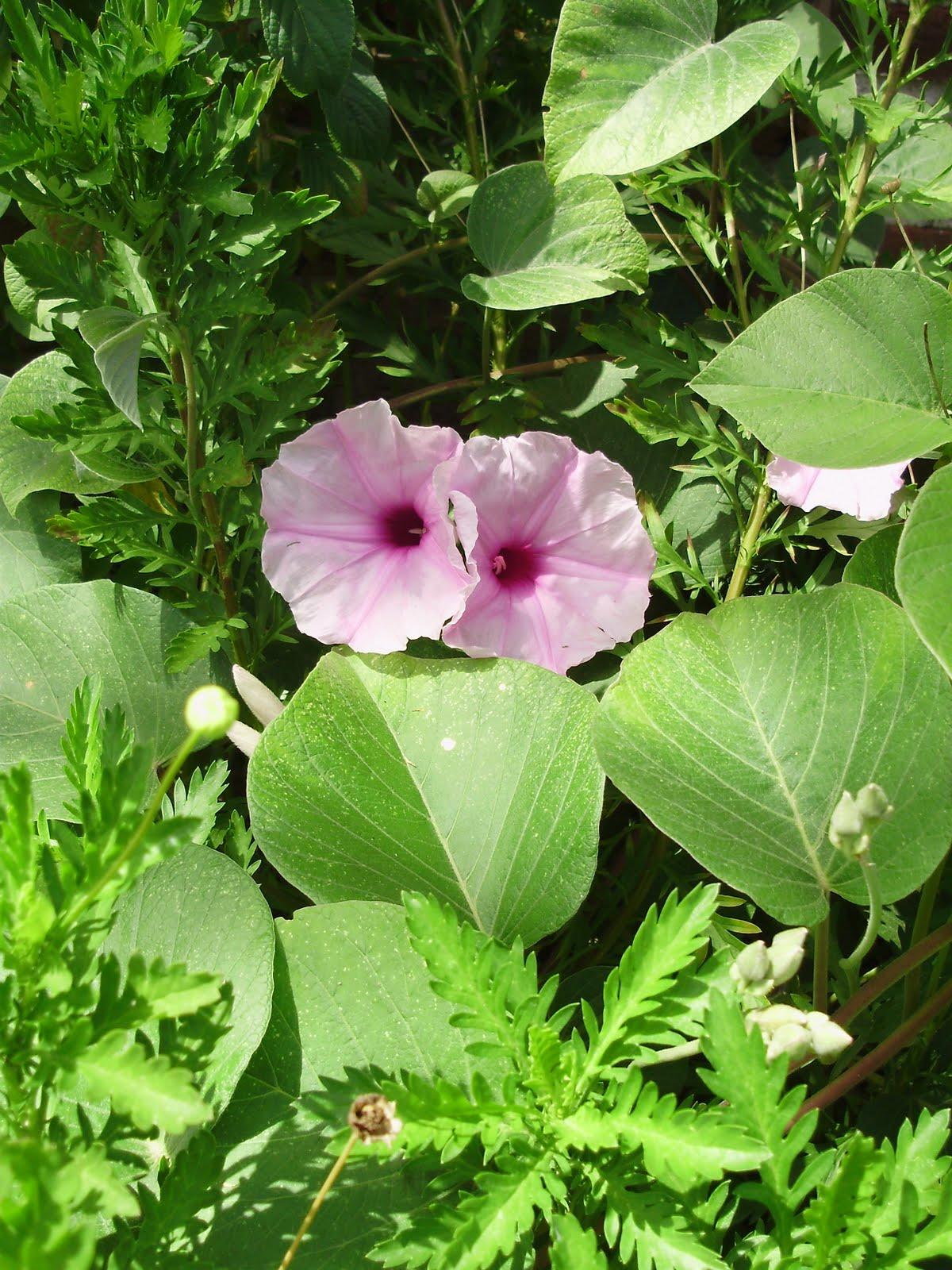 Qinti wasi plantas nativas de argentina ipomoea hieronymi for Vivero plantas nativas