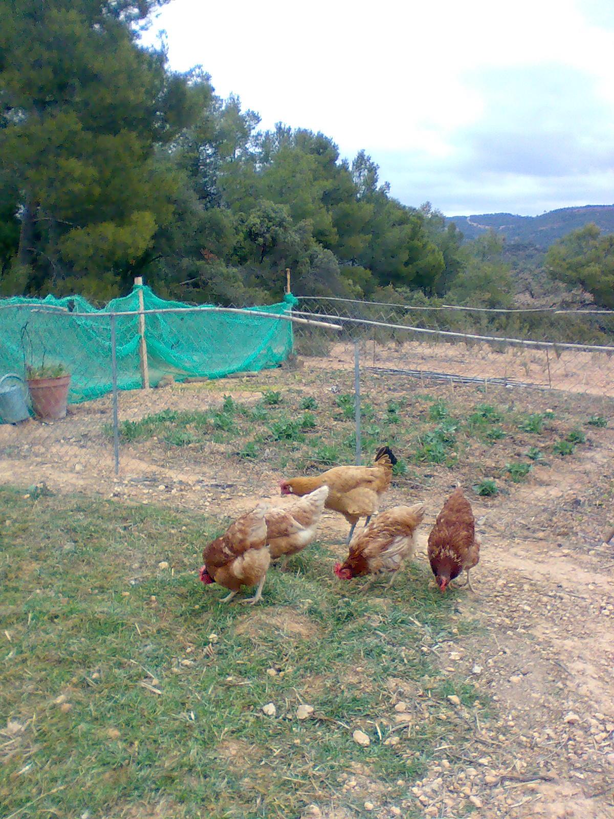 gallina habitat: