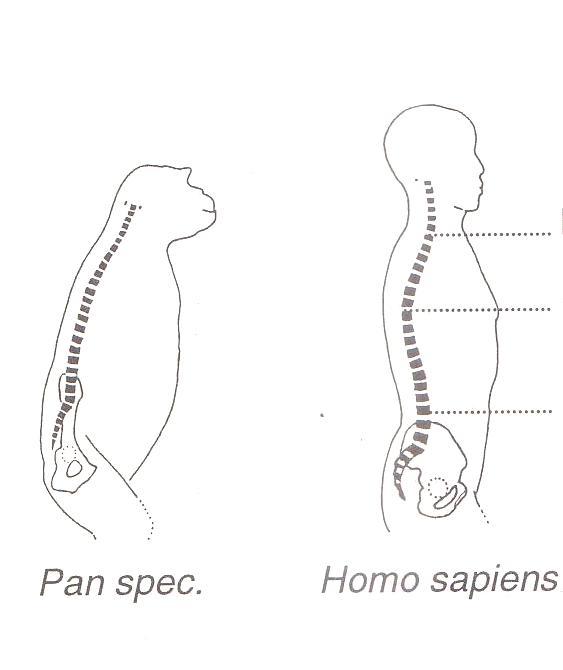 Unterschiede in der morphologie der wirbelsäule beim schimpansen und