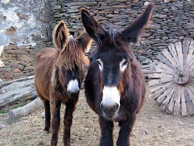Burros Lanudos ou burros de miranda MIRANDA+350