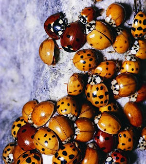 how to keep ladybugs out of house
