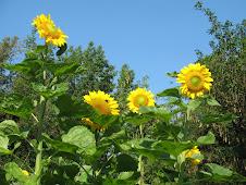 Sunflowers for Edma