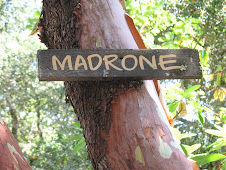 Madrone tree - red bark a peeling