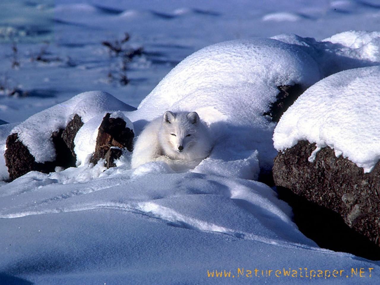 http://1.bp.blogspot.com/_uTGKd6u5pJ4/TQjUlBQ1bsI/AAAAAAAAAMk/xX0QWJlIM2M/s1600/Arctic-fox-animal-wallpaper.jpg