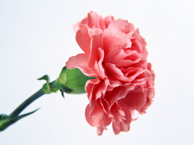 Single Pink Carnation Flower Wallpaper
