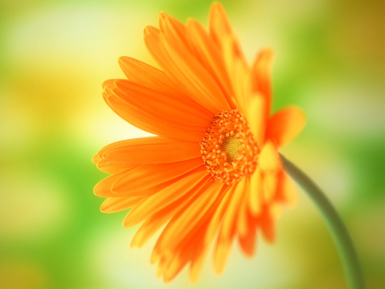 Free Computer Wallpaper Flowers Yellow Daisy Flower Desktop