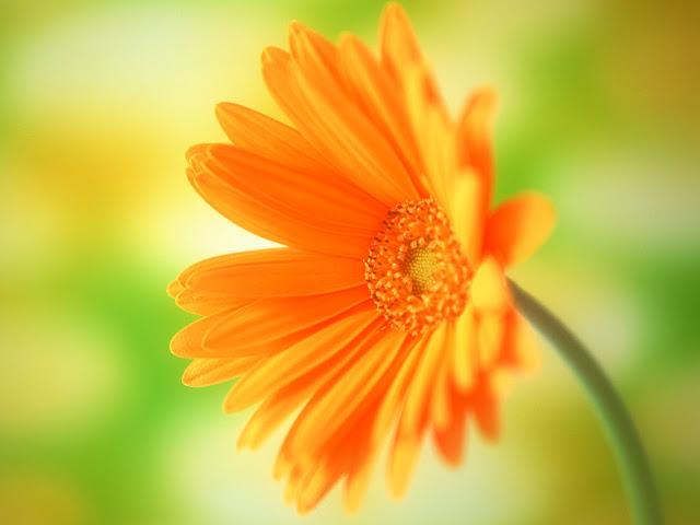 Yellow Daisy Flower Desktop Wallpaper