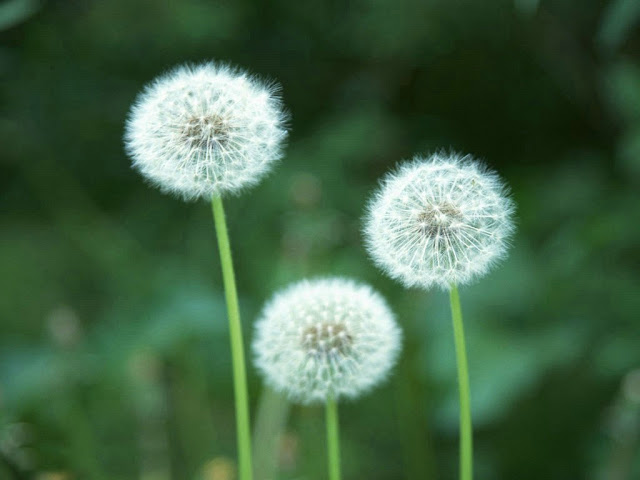 Beautiful Dandelion Flower wallpaper