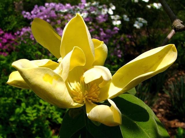 Yellow Magnolia Flower Wallpaper