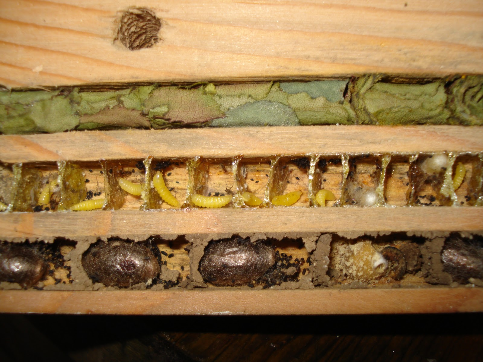 Mason BeesResin Bees And Leafcutter