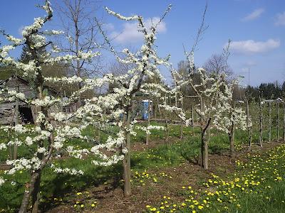 Yurt 2010 -Cherry and Apple Blossoms