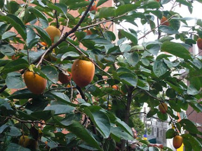 Persimmons on the tree, from http://www.maryeats.com