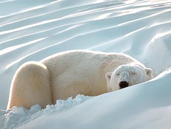 #2 Polar Bear Wallpaper