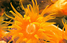 ORANGE SOFT CORAL