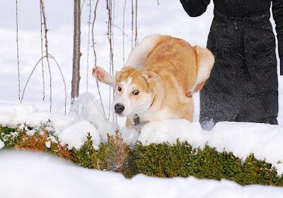 Пастушьи собаки Грузии DSC_6906