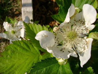 Blackberry Plants For Sale In Texas