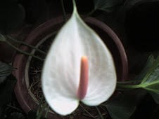 Anthurium