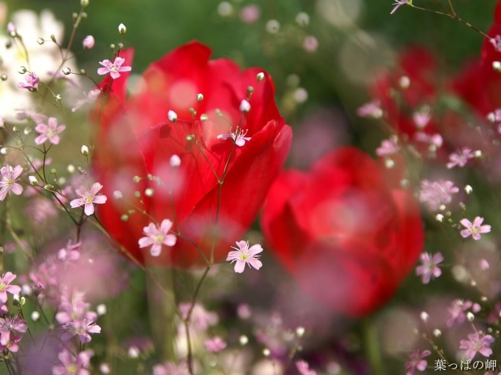 http://1.bp.blogspot.com/_uaAL_eBxCao/TJ5NCuPF0eI/AAAAAAAAFYo/Utzgd9UH-7o/s1600/red-rose-wallpaper_1024x768.jpg