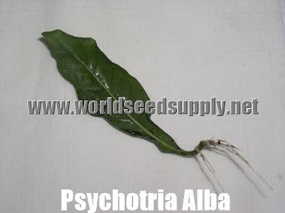 Psychotria Alba vs Viridis Buy Psychotria Alba Cuttings