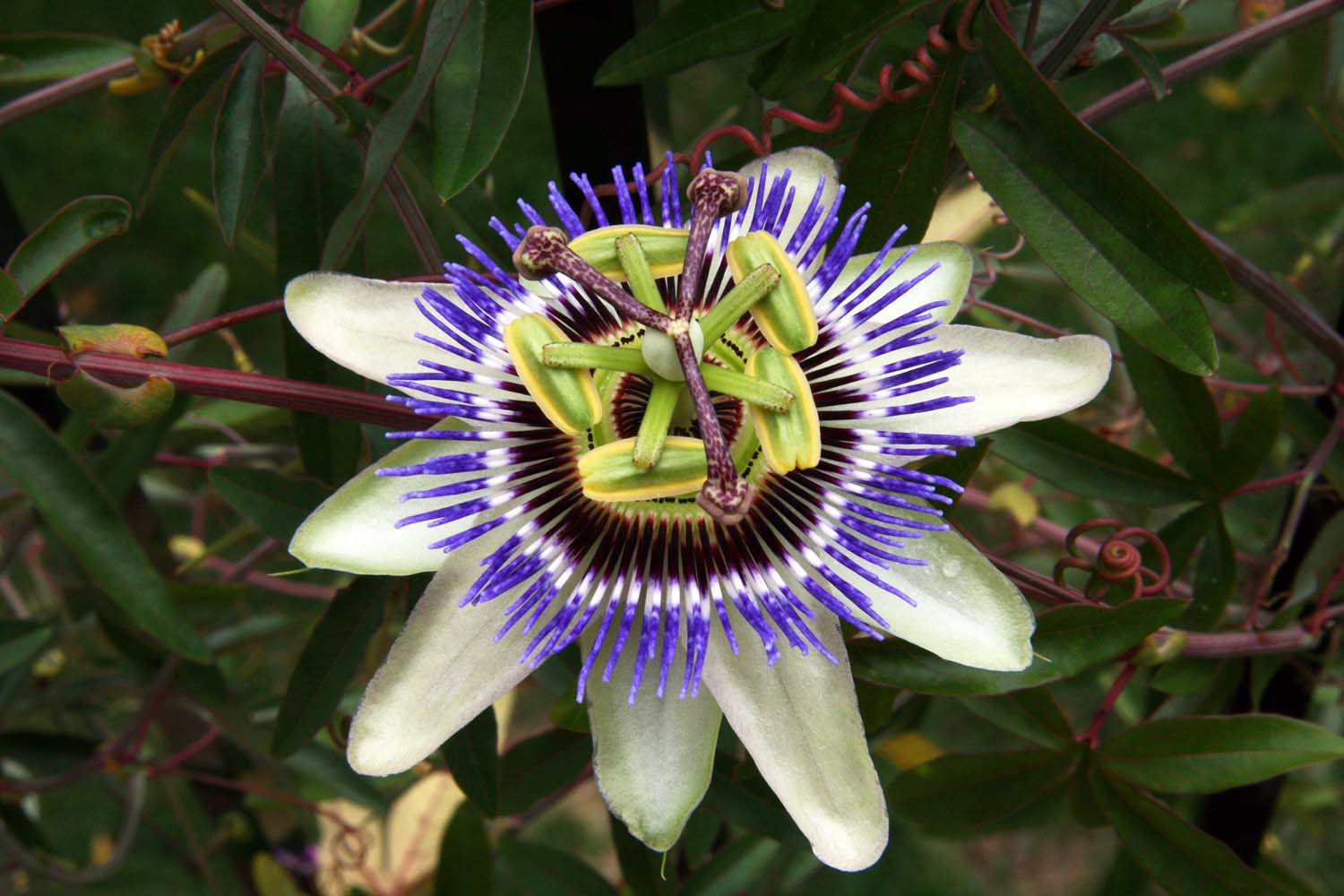 John and Sigrid s Adventures Passion Flower