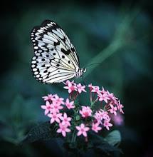Não desejo a frágil liberdade das borboletas.(Nancy)