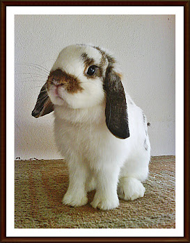 FEMALE HOLLAND LOP