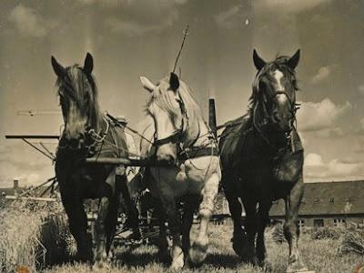 Heste med trespand ca. 1950 hos Anders Jensen, Magleby