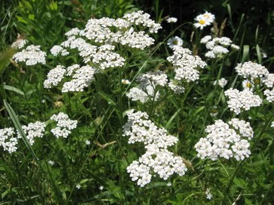 Warrior cats herbs yarrow leaves used for wounds or to expel poison usually applied as a poultice or eaten tall plant with small white flowers mightylinksfo