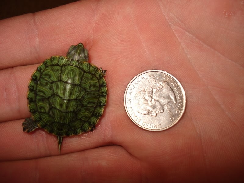 baby red eared slider turtles adopt a baby red eared