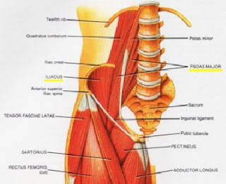 Muses mutterings lbp iliopsoas tip 2 the iliopsoas muscles are the major flexors of the hip the ilioopsoas run from the inside of your lower back down to the front of your upper leg ccuart