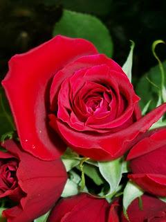 Всичко за цветята! Rose1