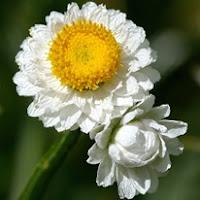 Сухите цветя  Ammobiumalatum_thumb