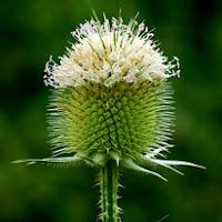 Сухите цветя  Dipsacus_thumb
