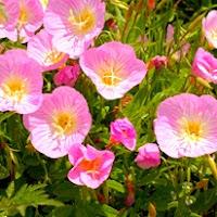 Сухите цветя  Oenothera_thumb