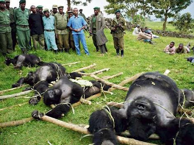 Gorilla killings Virunga