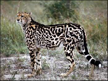 [king-cheetah.jpg]