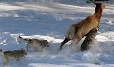 Lobos e Veados