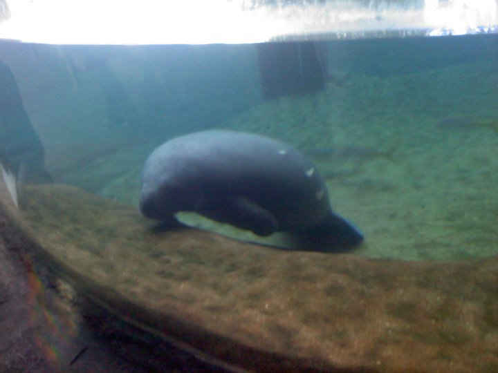 a study on the manatee or the sea cow The ram and sea cow coverings were not divided into units as were  the fourth and top covering was made of 'sea cows' (manatee or  study 1: an.