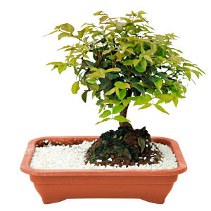 Bonsai comprar