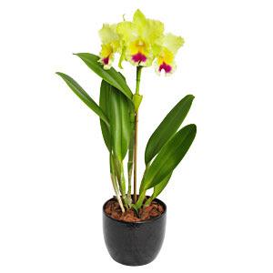 Fotos de orquídeas: orquídea catleya