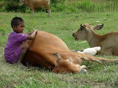 tanah linge dan ternak