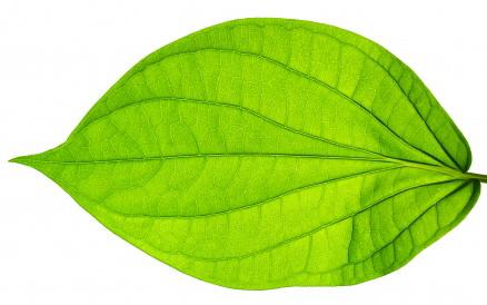 Belajar pada kehidupan sang daun